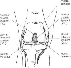 Ligament incrucisat anterior2